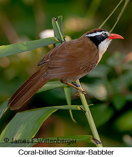 Coral-billed Scimitar-Babbler - © James F Wittenberger and Exotic Birding Tours