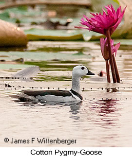 Cotton Pygmy-Goose - © James F Wittenberger and Exotic Birding Tours