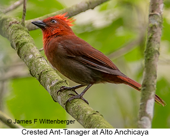 Crested Ant-Tanager - © James F Wittenberger and Exotic Birding LLC