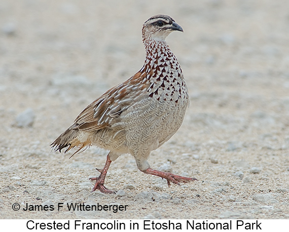 Crested Francolin - © James F Wittenberger and Exotic Birding LLC