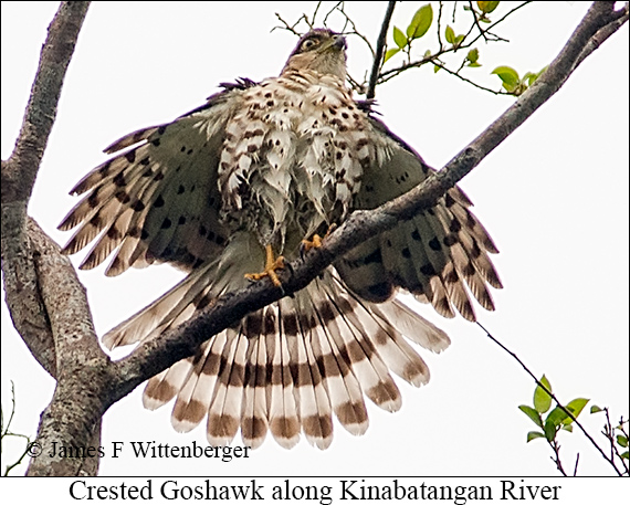 Crested Goshawk - © Laura L Fellows and Exotic Birding Tours