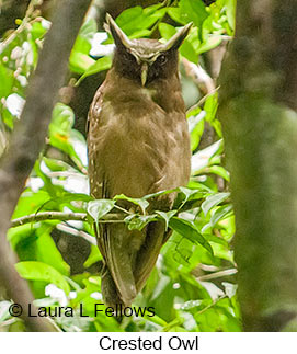 Crested Owl - © Laura L Fellows and Exotic Birding LLC