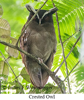 Crested Owl - © James F Wittenberger and Exotic Birding Tours