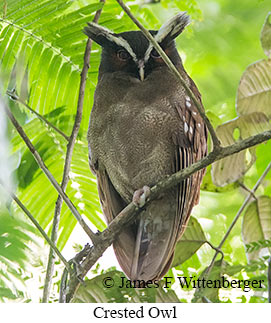 Crested Owl - © James F Wittenberger and Exotic Birding LLC