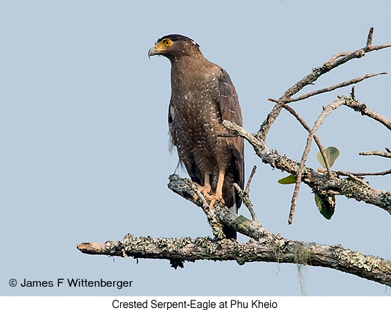 Crested Serpent-Eagle - © James F Wittenberger and Exotic Birding Tours