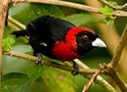 Crimson-collared Tanager - © Laura L Fellows and Exotic Birding Tours