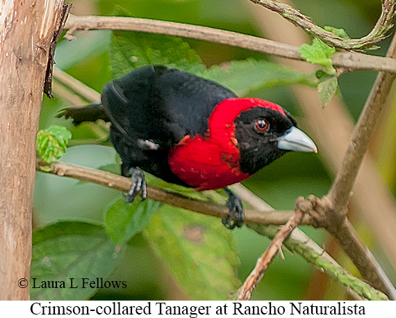 Crimson-collared Tanager - © Laura L Fellows and Exotic Birding LLC