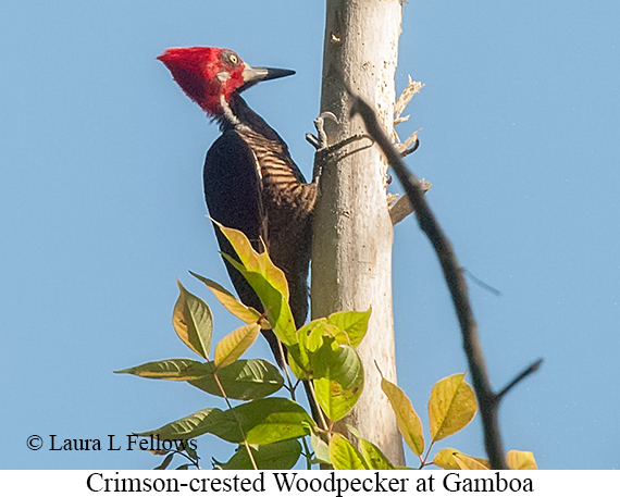 Crimson-crested Woodpecker - © Laura L Fellows and Exotic Birding LLC