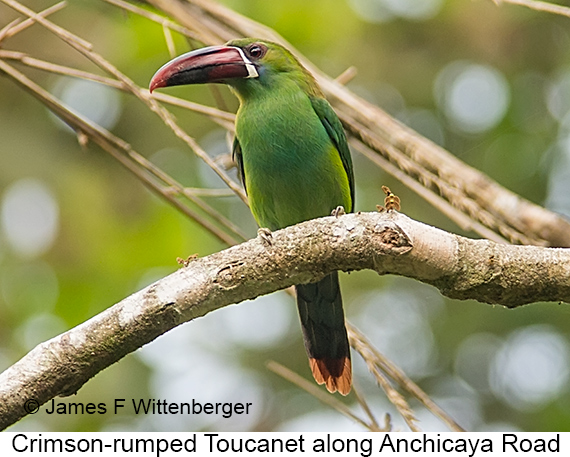 Crimson-rumped Toucanet - © James F Wittenberger and Exotic Birding LLC