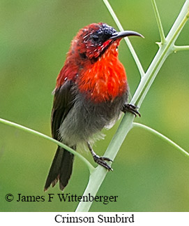 Crimson Sunbird - © James F Wittenberger and Exotic Birding Tours