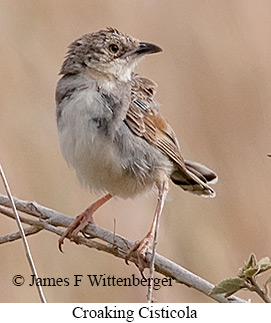 Croaking Cisticola - © James F Wittenberger and Exotic Birding LLC