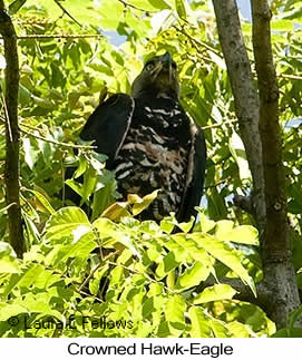 Crowned Eagle - © Laura L Fellows and Exotic Birding Tours