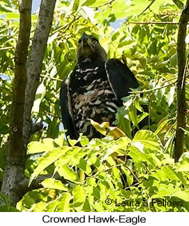 Crowned Eagle - © Laura L Fellows and Exotic Birding LLC