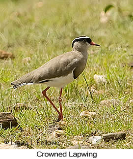 Crowned Lapwing - © Laura L Fellows and Exotic Birding Tours