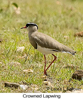 Crowned Lapwing - © Laura L Fellows and Exotic Birding LLC