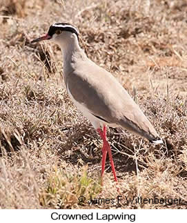 Crowned Lapwing - © James F Wittenberger and Exotic Birding LLC