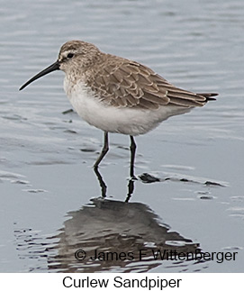Curlew Sandpiper - © James F Wittenberger and Exotic Birding LLC
