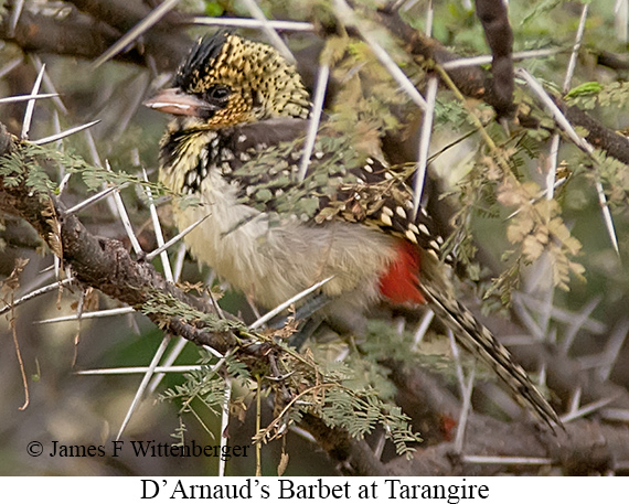 D-arnaud S Barbet - © James F Wittenberger and Exotic Birding LLC