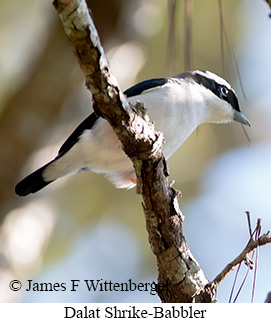 Dalat Shrike-Babbler - © James F Wittenberger and Exotic Birding Tours