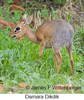 Damara Dikdik - © James F Wittenberger and Exotic Birding LLC