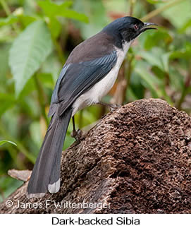 Black-headed Sibia - © James F Wittenberger and Exotic Birding LLC