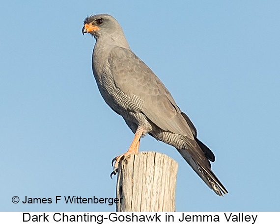 Dark Chanting-Goshawk - © James F Wittenberger and Exotic Birding LLC