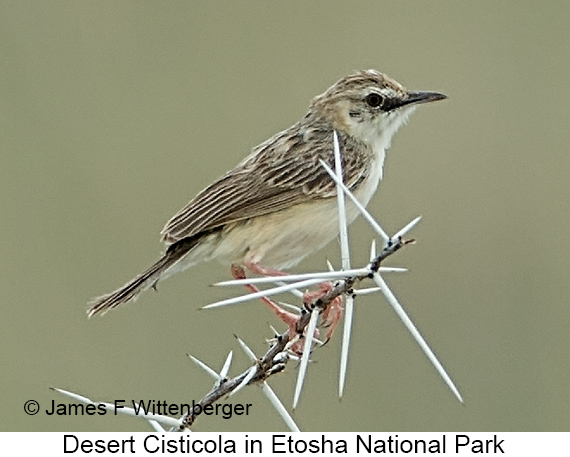 Desert Cisticola - © The Photographer and Exotic Birding LLC