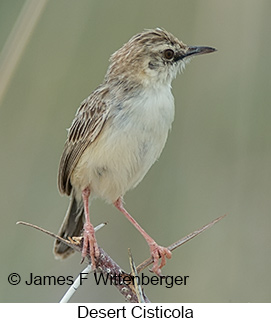Desert Cisticola - © James F Wittenberger and Exotic Birding LLC