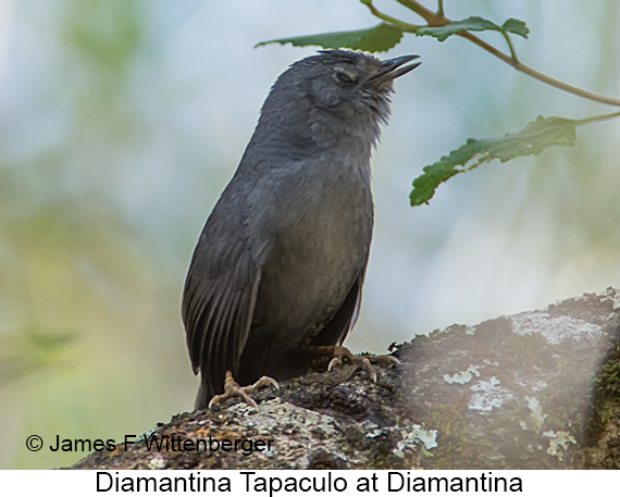 Diamantina Tapaculo - © James F Wittenberger and Exotic Birding LLC
