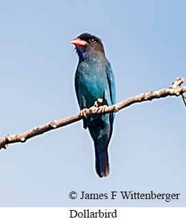 Dollarbird - © James F Wittenberger and Exotic Birding Tours
