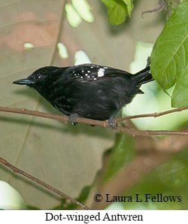 Dot-winged Antwren - © Laura L Fellows and Exotic Birding Tours