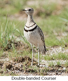 Double-banded Courser - © James F Wittenberger and Exotic Birding LLC
