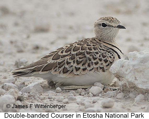 Double-banded Courser - © The Photographer and Exotic Birding LLC
