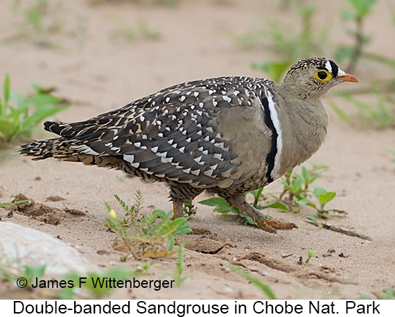 Double-banded Sandgrouse - © James F Wittenberger and Exotic Birding LLC