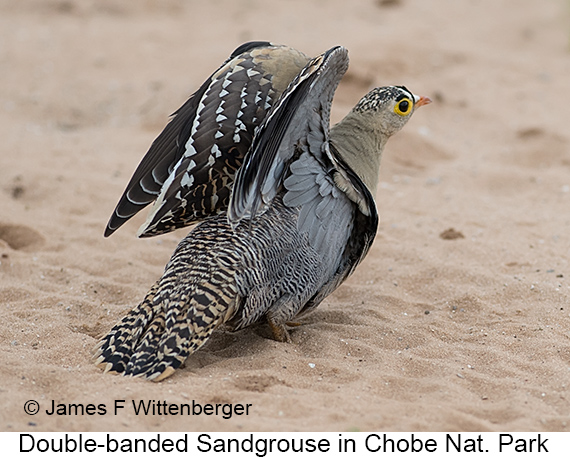 Double-banded Sandgrouse - © The Photographer and Exotic Birding LLC