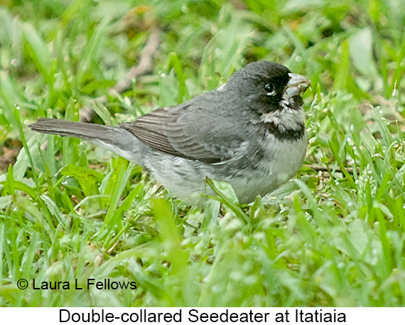 Double-collared Seedeater - © Laura L Fellows and Exotic Birding LLC
