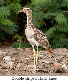 Double-striped Thick-knee - © Laura L Fellows and Exotic Birding LLC