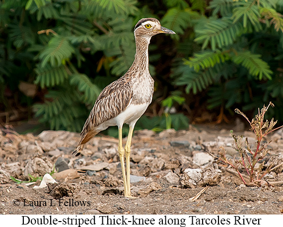 Double-striped Thick-knee - © Laura L Fellows and Exotic Birding Tours