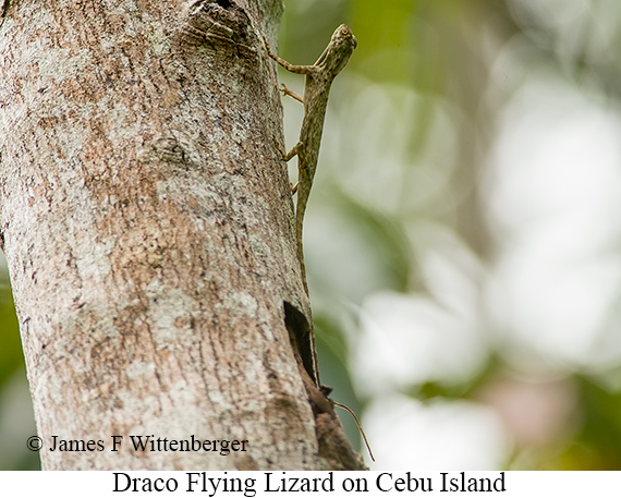 Draco-flying Lizard - © James F Wittenberger and Exotic Birding Tours