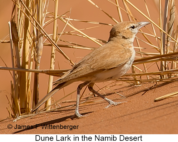 Dune Lark - © James F Wittenberger and Exotic Birding LLC