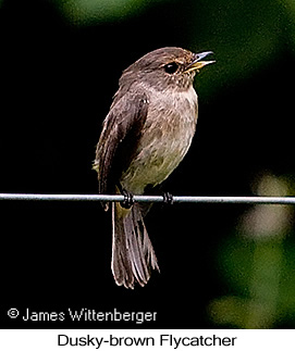 Dusky-brown Flycatcher - © James F Wittenberger and Exotic Birding Tours