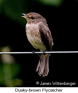 Dusky-brown Flycatcher - © James F Wittenberger and Exotic Birding LLC