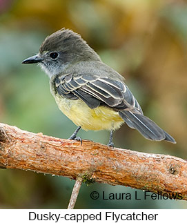 Dusky-capped Flycatcher - © Laura L Fellows and Exotic Birding LLC