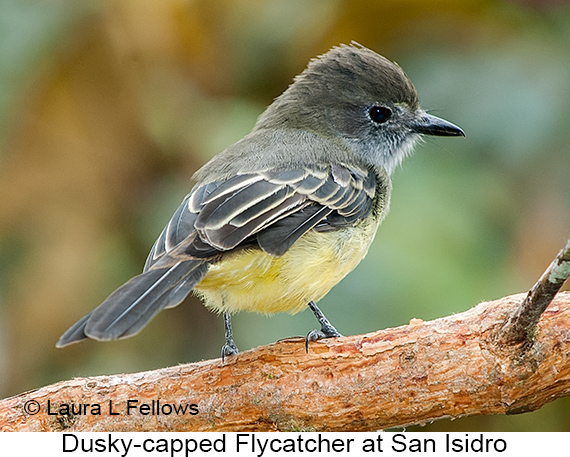 Dusky-capped Flycatcher - © Laura L Fellows and Exotic Birding Tours