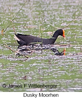 Dusky Moorhen - © James F Wittenberger and Exotic Birding Tours
