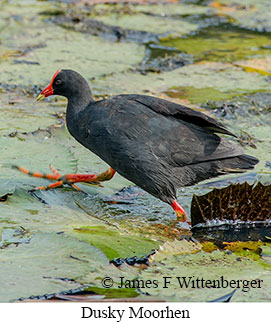 Dusky Moorhen - © James F Wittenberger and Exotic Birding LLC