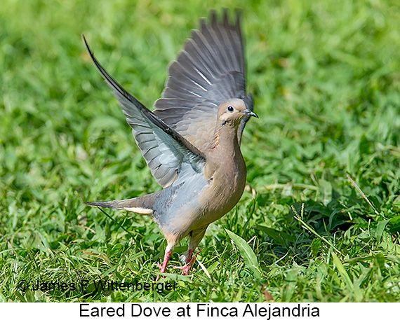 Eared Dove - © James F Wittenberger and Exotic Birding LLC