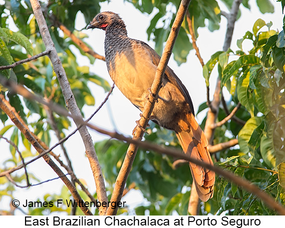 East Brazilian Chachalaca - © James F Wittenberger and Exotic Birding LLC