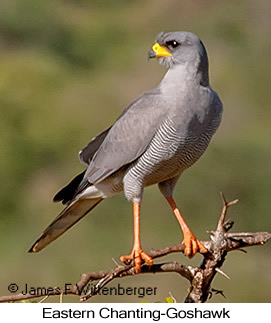 Eastern Chanting-Goshawk - © James F Wittenberger and Exotic Birding LLC