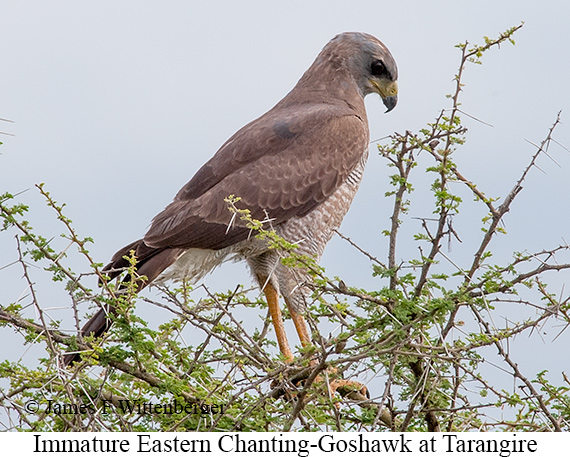 Eastern Chanting-Goshawk - © James F Wittenberger and Exotic Birding Tours